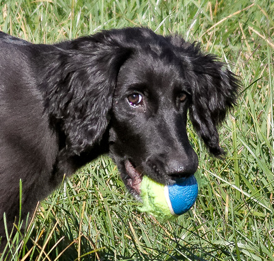 KLM Images, photography by Karen L Myers: 14 - Hussar and his ball at 13 weeks (10/24/2017) &emdash; 25 - Portrait