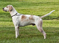 VF12-07 - Champion English Foxhound, Grand Champion