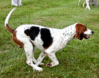 19 - Champion Registered Penn-Marydel Foxhound