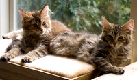 Maine Coon Cat kittens, Bluemont, Virginia