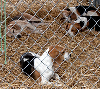 08 - Beagles snoozing in kennels