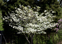 18 - Dogwood in full flush