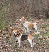 16 - National Beagle Club Pack Trials (4/4/2008) Day 2