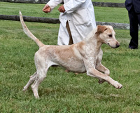 BM11-758 - Champion English Foxhound