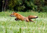 Young fox evading hounds, White Post, Virginia