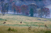 Deer in an early morning meadow, Aldie, Virginia