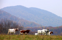 Longhorns under the Blue Ridge Mountains, Hume, Virginia