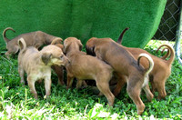 5 - Puppies from Adel's litter