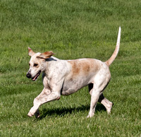 13 - Champion English Foxhound - Live Oak Fable