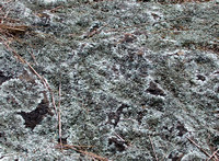 Lichen on rockbreak (mountain root), Hume, Virginia