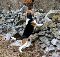 The Nantucket-Treweryn Beagles