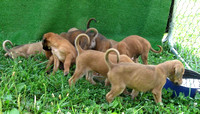 6 - Puppies from Adel's litter