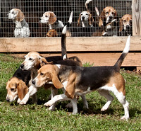 Beagles - raw, small