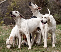 Foxhounds (various) - raw, small