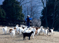 Goats watching a foxhunt, Millwood, Virginia