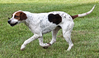 16 - Champion Cross-Bred Foxhound