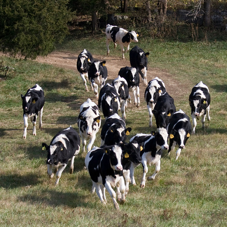 Heifers running to join the fox chase at Priskilly, Boyce, Virgi